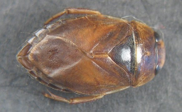 Ilyocoris cimicoides