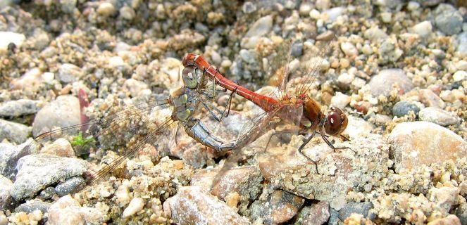 couple_sympetrum_striolatum.jpg